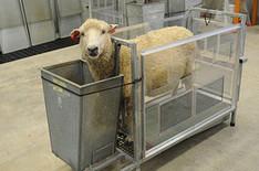 SheepBurp2.jpg