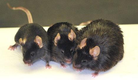 MiceLiveLonger2011-08-19.jpg