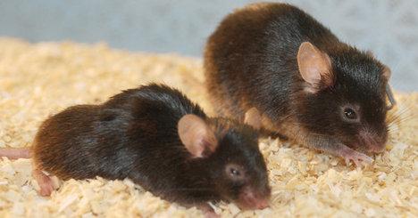 MiceSenescentCells2011-11-04.jpg
