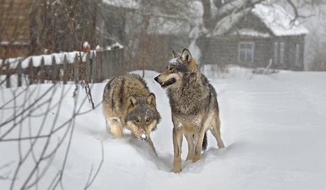 WolvesRadioactive2011-11-09.jpg