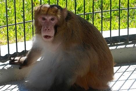 ObeseMonkeyLostWeight2012-02-06.jpg