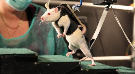 RatSpineInjuryExperiment2012-06-04.jpg