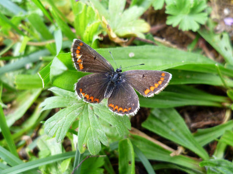 BrownArgusButterfly2012-09-03.jpg