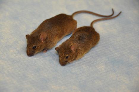 MouseGeneAltertedLivesLonger2013-09-27.jpg