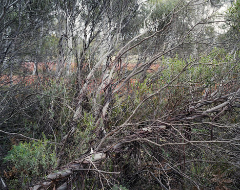 Eucalyptus13000YearsOld2014-06-04.jpg