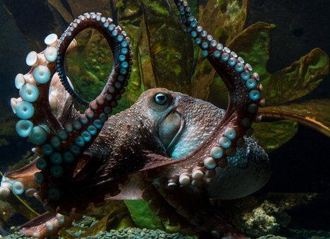 OctopusInkyEyesCaptors2016-05-16.jpg
